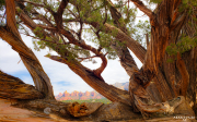 red-rock-tree