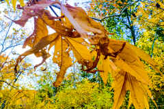yellow-oak-leaf